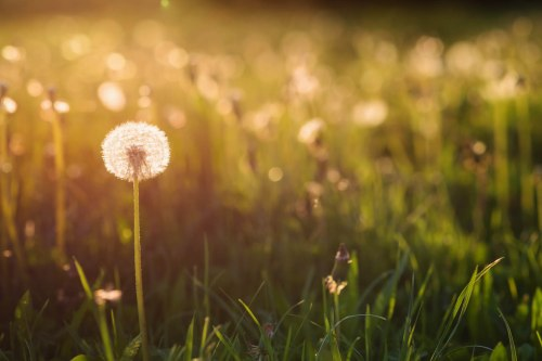 Green summer meadow at sunset full of dandelions . Nature background.